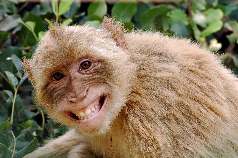 More's Monkey
